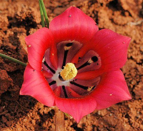 Romulea monadelpha Iridaceae seeds