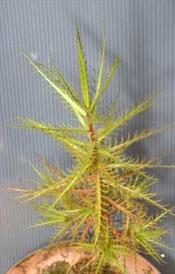 Roridula dentata flycatcher bush seeds