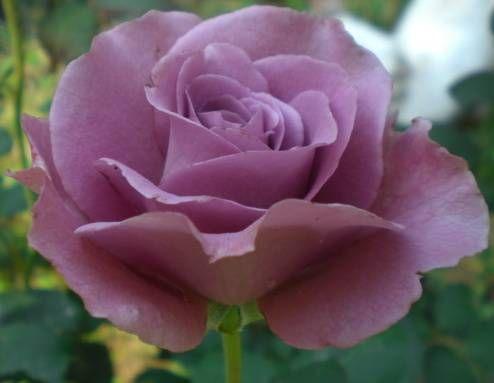 Rose Angel Rose purple seeds