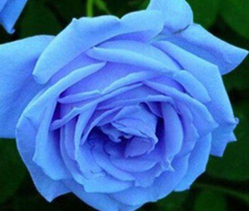Rose Badge Rose light blue seeds