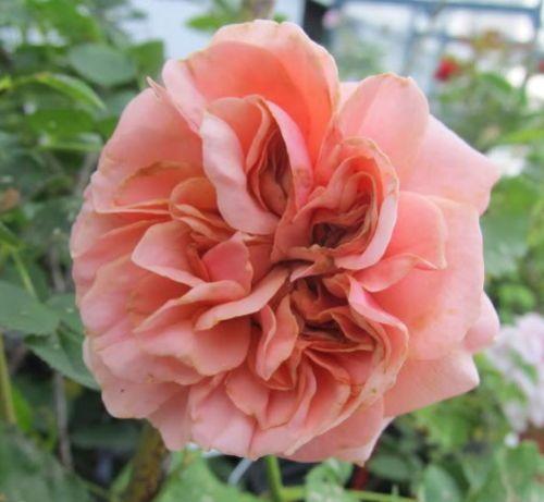 Rose Cordelia Rose salmon seeds