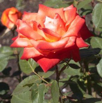 Rose France Rose orange-red seeds