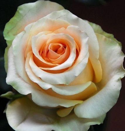 Rose Nectarine Rose cream-orange seeds