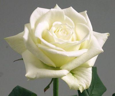 Rose Tineke Rose cream-white seeds