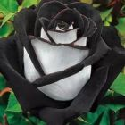 Rose black-white