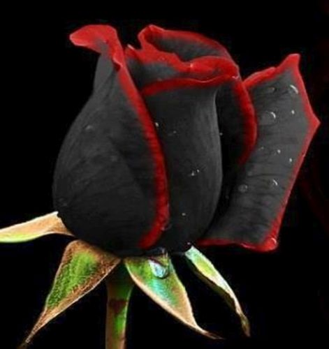 Rose black red edge Rose black red edge seeds
