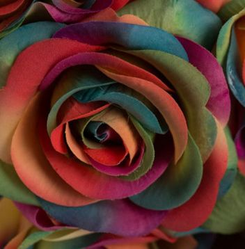 Rose dark rainbow Rose dark rainbow seeds