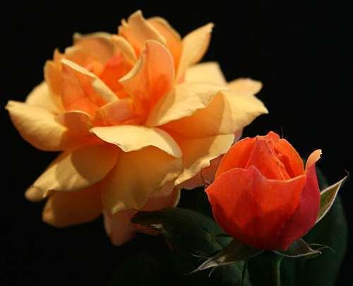 Rose orange rose orange seeds