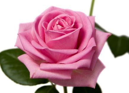 Rose pink spot Rose dark pink seeds