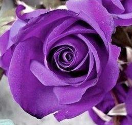 Rose violett Rose purple seeds