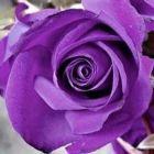Rose violett violette Rose Samen