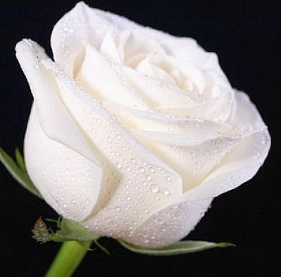 Rose weiss Rose white seeds