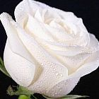 Rose weiss Rose blanca semillas