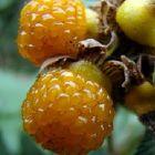Rubus ellipticus  semi