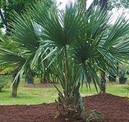 Sabal minor Dwarf Palmetto seeds