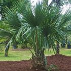 Sabal minor Nain Palmetto graines
