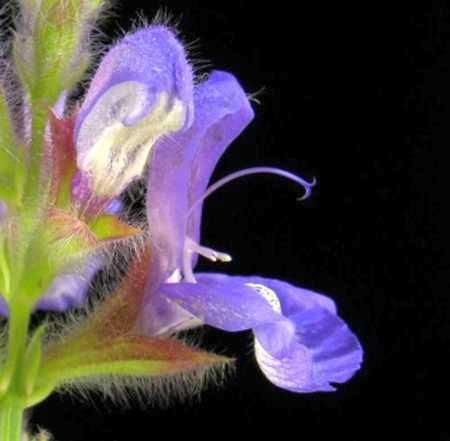 Salvia lanceolata rusty sage seeds