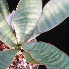 Sansevieria metallica Sansevi?re, Langue de Belle-m?re graines