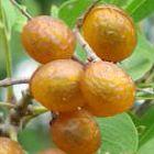 Sapindus saponaria  semi