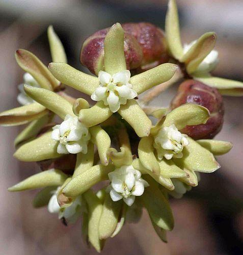 Sarcostemma viminale rapunzel plant seeds