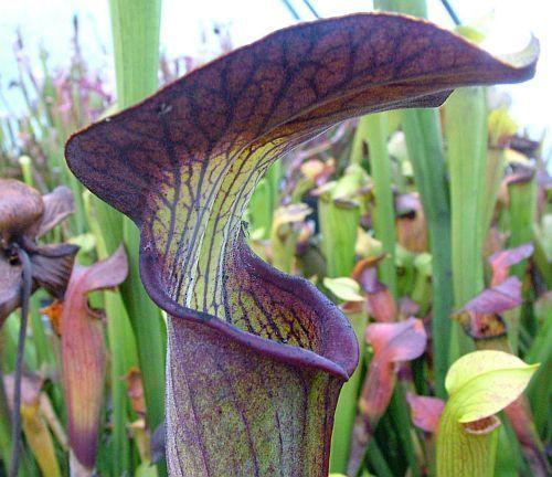 Sarracenia alata Pubescent Black pitcher plant clone Pubescent Black seeds