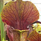 Sarracenia alata purple throat green outside Sarracena, Planta de jarra Norteamericana, Plantas trompeta, Cuerno de caza semillas