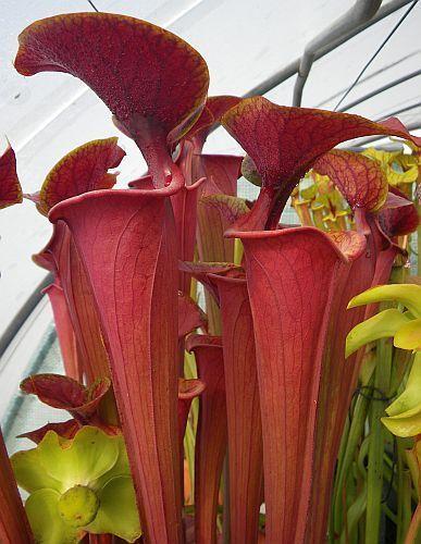 Sarracenia flava var. atropurpurea Mk F27C pitcher plant clone purple throat green outside seeds