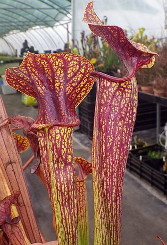 Sarracenia flava var. ornata Superornata pitcher plant clone ornata Superornata seeds