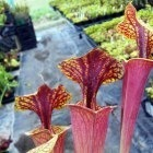 Sarracenia flava var. rubricorpora Chris Heath Kannenpflanze Kultivar rubricorpora Chris Heath Samen