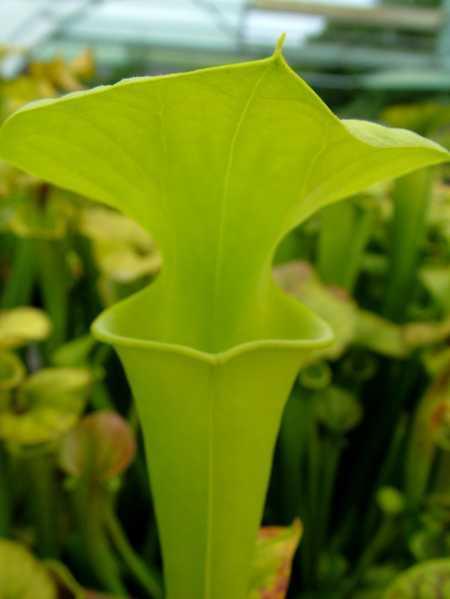 Sarracenia flava var maxima yellow pitcher plant seeds