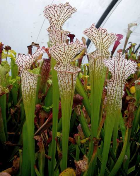 Sarracenia leucophylla Typical Form white pitcher plant seeds
