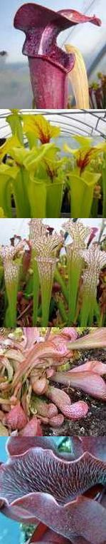 Sarracenia mix pitcher plant mix seeds