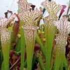 Sarracenia mix sarrac?nie - plante carnivore mix graines
