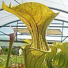 Sarracenia oreophila BG Prag Schlauchpflanze Kultivar BG Prag Samen