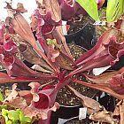 Sarracenia purpurea ssp. purpurea var. stolonifera Schlauchpflanze Kultivar purpurea var. stolonifera Samen