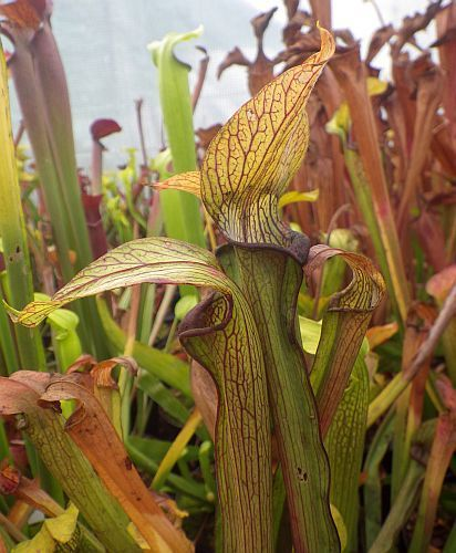 Sarracenia rubra ssp. rubra long lidded form pitcher plant clone rubra long lidded form seeds