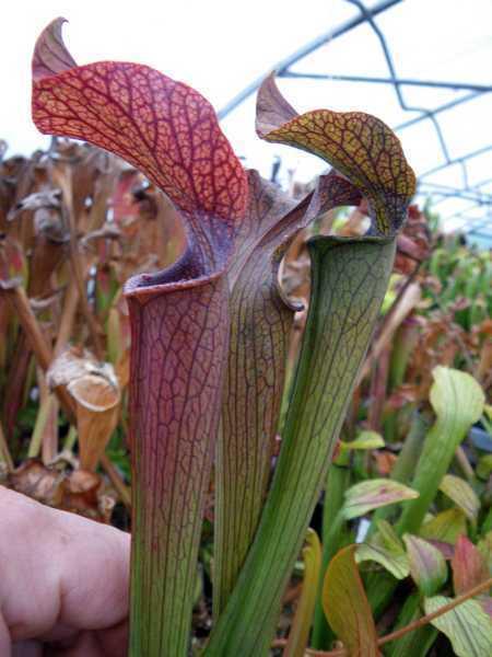 Sarracenia Rubra Ssp Gulfensis Giant Form Pitcher Plant