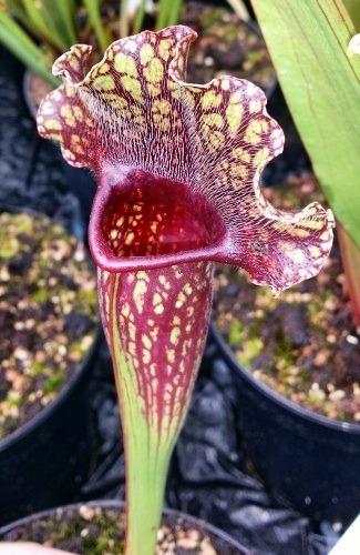 Sarracenia x mitchelliana dark red plant Mitchells pitcher plant seeds