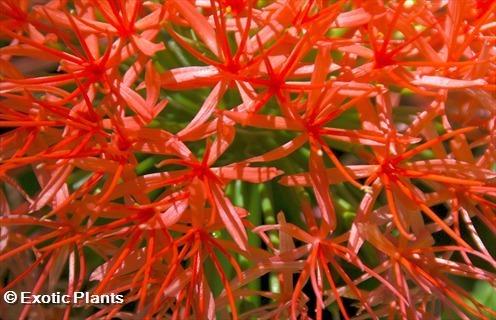 Scadoxus multiflorus  seeds
