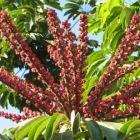 Schefflera actinophylla Regenschirmbaum - Strahlenaralie Samen