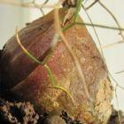 Schizobasis intricata syn: Drimia intricata Samen
