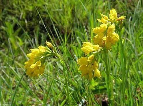 Schizochilus zeyheri orchids seeds
