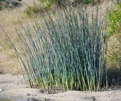 Schoenoplectus validus River Club Rush River Club Rush Grass seeds