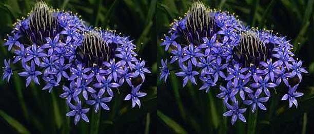Scilla cf odorata dark blue scilla silvestre seeds