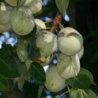 Sclerocarya birrea ssp caffra