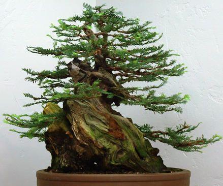 Sequoia sempervirens Coast Redwood seeds