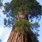 Sequoiadendron giganteum  cемян