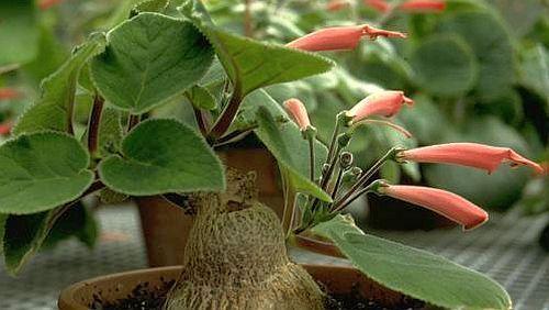 Sinningia macrostachya caudiciform seeds