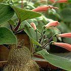 Sinningia macrostachya  cемян