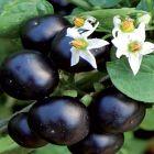 Solanum melanocerasum Amerikanische Heidelbeere Samen